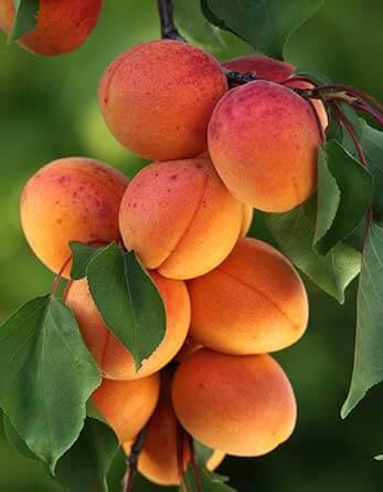 abricot fruit catalogne