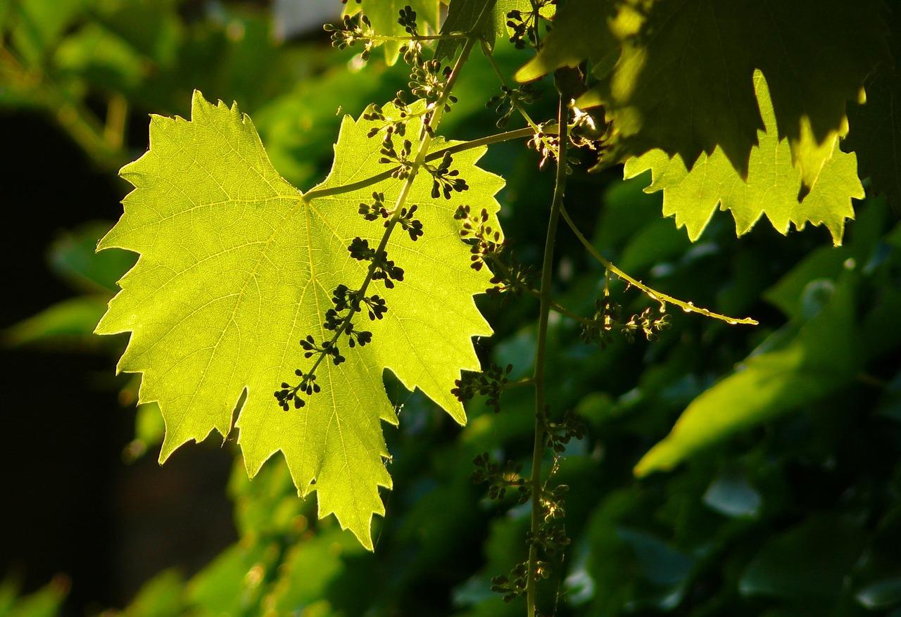 vin pyrénées orientales vignes