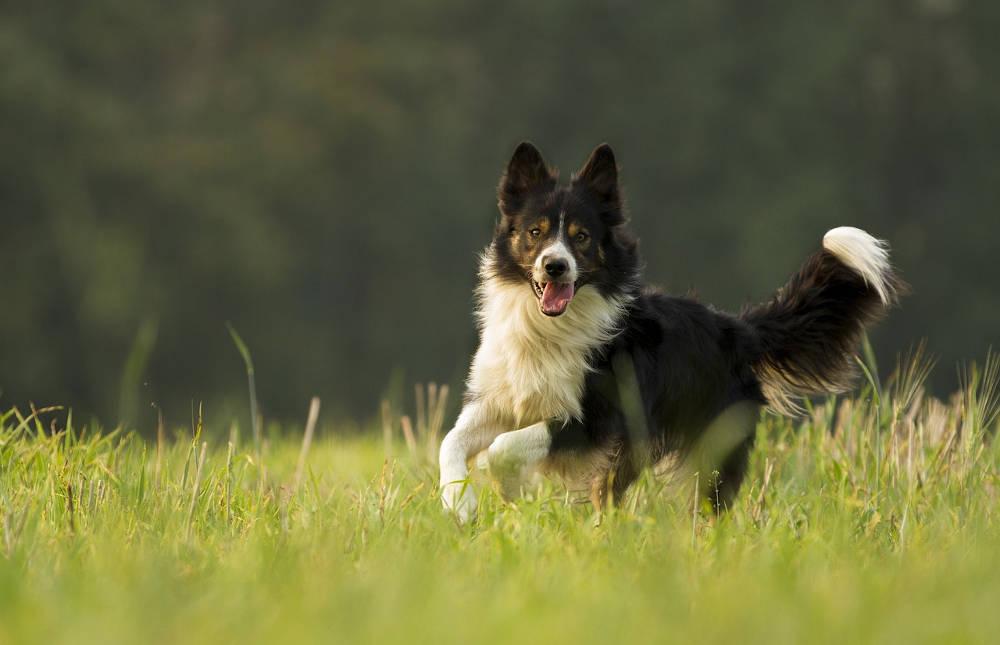 Invité canin Chien Troupeau