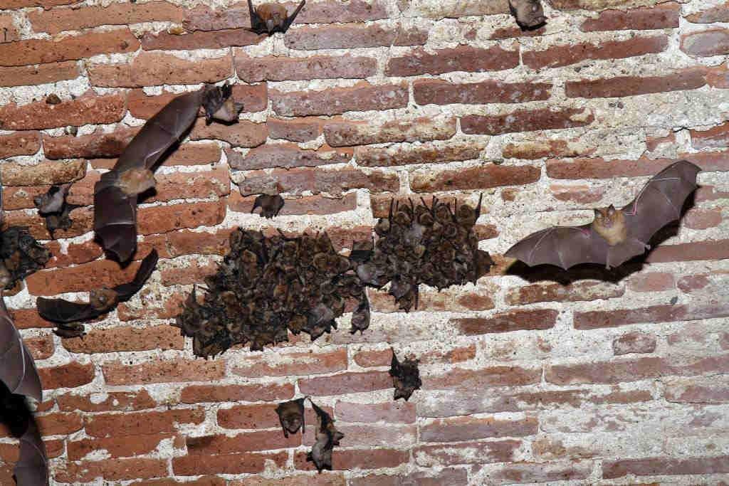 Villefranche Chauve-souris mur