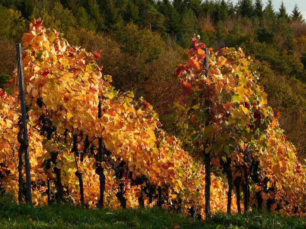 arbres pays catalan vin oenologie réserver expériences 66