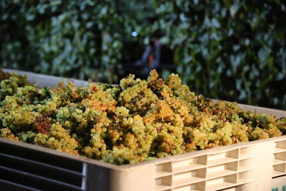 grappes raisin oenologie viticulture roussillon