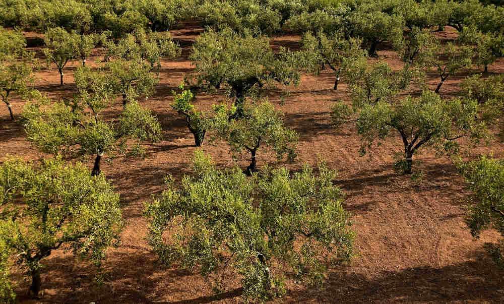 oliveraie savoir faire catalan