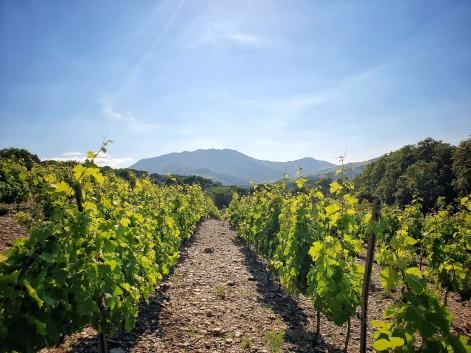 vignes pays catalan pyrénées orientales vin raisin oenologie