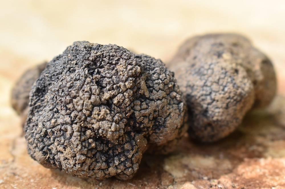 truffe blanche occitanie pays catalan