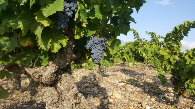 balade vigneronne oenotourisme 66